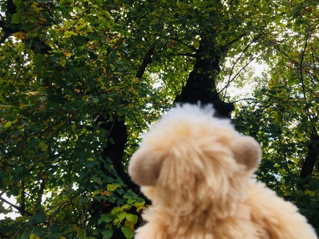Mimono mira las lejanas copas de los arboles