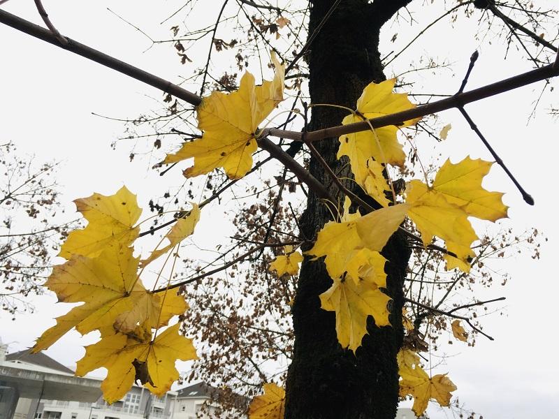 Hoja de arce en otoño