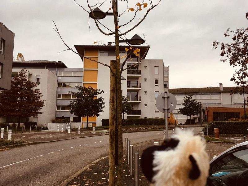 Mimono mira el Ginkgo Biloba de Annecy