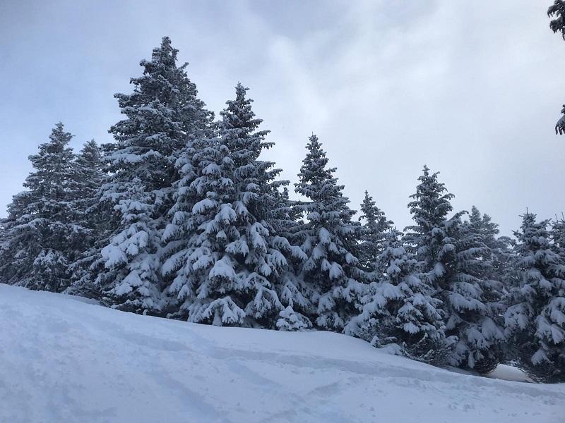 La nieve y las señoritas piceas