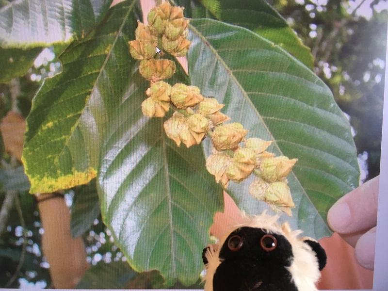Hojas y frutos de roble negro colombiano