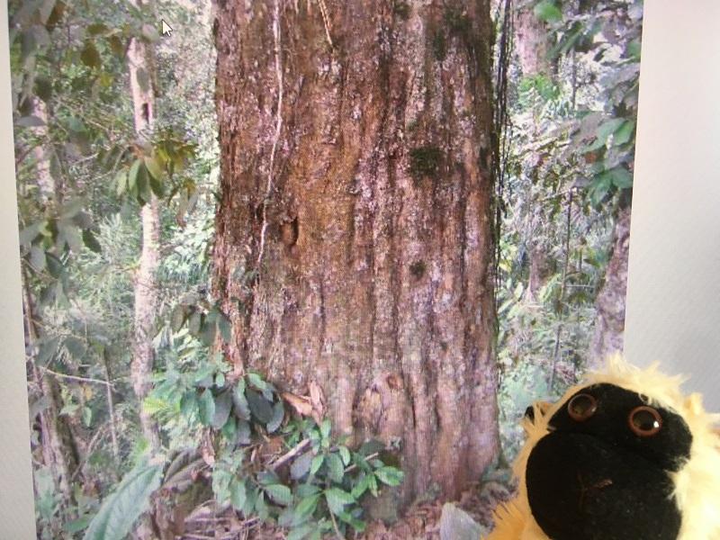 Mimono en frente de un tronco de roble negro colombiano