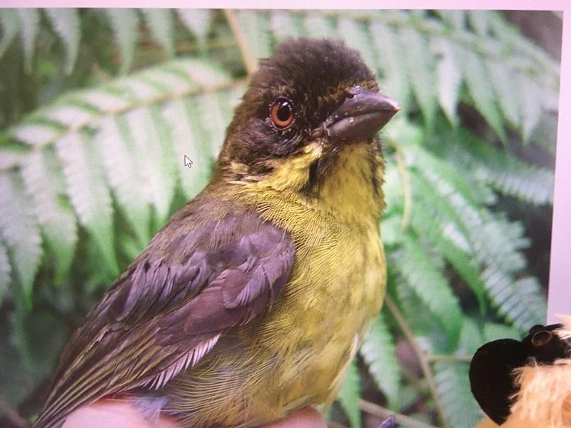 Pájaro endémico del bosque de roble negro colombiano